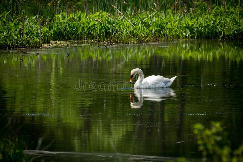 White Mute Swan. Majestic white Mute Swan swimming in natural summer lake stock images