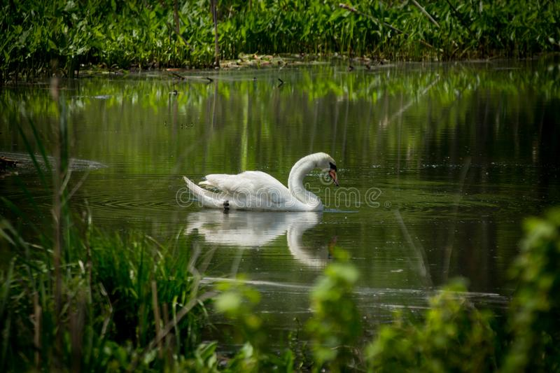 White Mute Swan. Majestic white Mute Swan swimming in natural summer lake stock photos