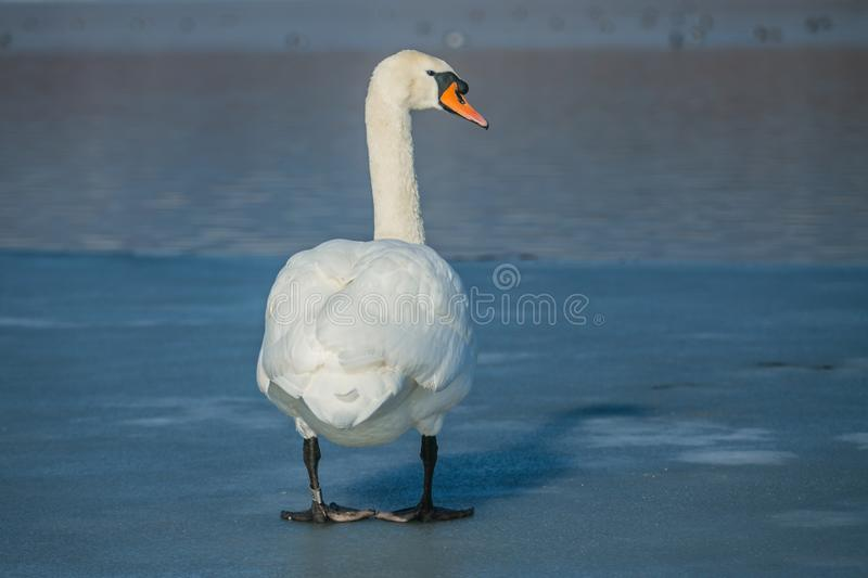 White mute swan with orange beak standing on ice. White mute swan with orange beak and bird ring on left leg standing on frozen lake, reflection of blue sky on stock photography