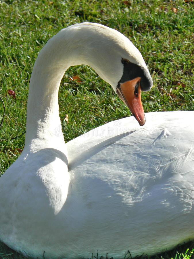 White mute swan in a public garden. On a lawn stock photos