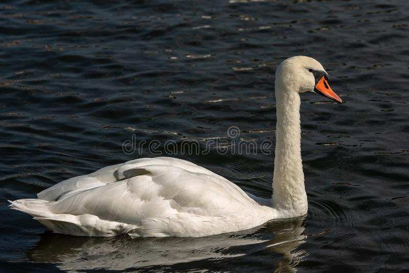White Mute Swan swim on a Dark Blue Lake. One white mute swan Cygnus olor swim on a dark blue lake royalty free stock photo