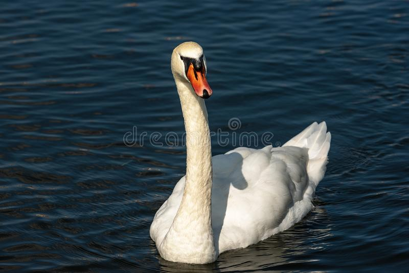 White Mute Swan swim on a Dark Blue Lake. One white mute swan Cygnus olor swim on a dark blue lake royalty free stock images