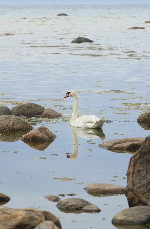 The white mute swan swimming near the seashore. At the Finnish Gulf of the Baltic Sea stock photos