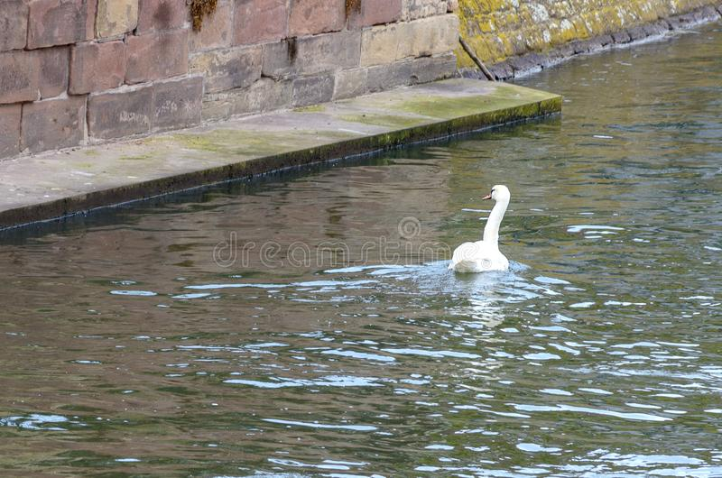 White mute swan swimming on a river. Away from the camera alongside a retaining wall stock photo
