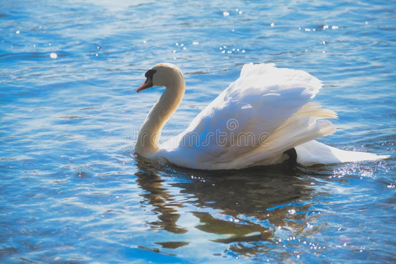 White mute swan swimming with water reflection, bright color photo. Color photo of a white mute swan is swimming in the river rhine royalty free stock images