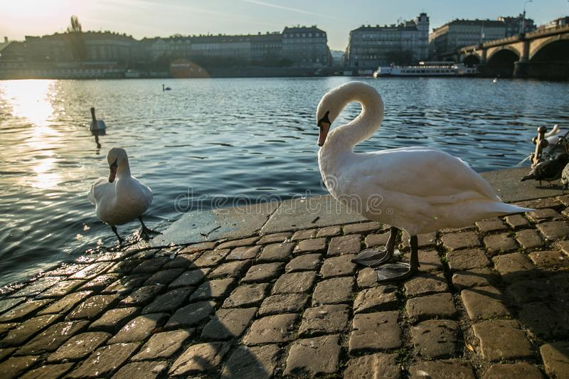 White mute swan walking on cobblestone embankment. By river Moldau in Prague, Europe, reflection of sunset in water, blue sky, autumn evening, stone bridge over royalty free stock photos