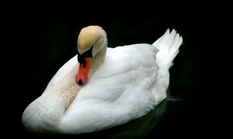 White mute swan. In water with dark background stock photos