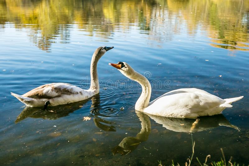 White mute swans on blue lake. Two white adult and grey young mute swans, drinking water from blue lake, reflection of clear blue sky, yellow and brown reeds and royalty free stock photo