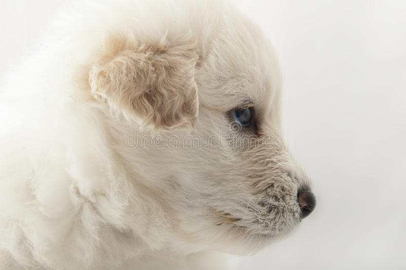 White muzzle puppy dog closeup royalty free stock images