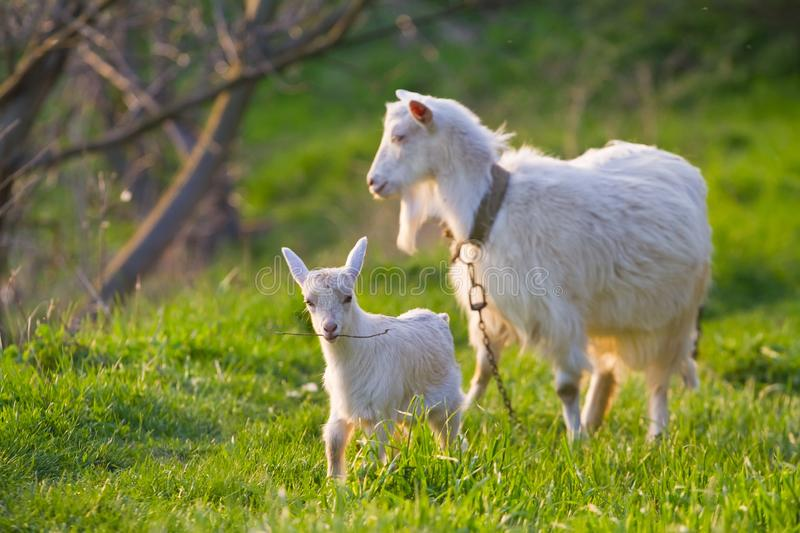 White nanny goat enjoy late evening sun and kid play with twig in a meadow with fresh young juicy grass. Pastoral spring landscape stock photography