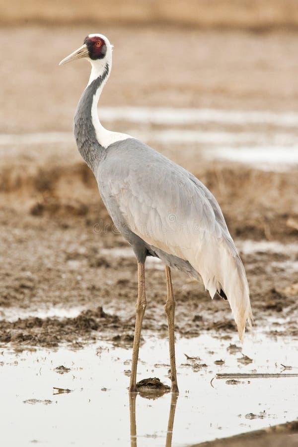 Download White-Naped Crane stock photo. Image of animal, bird - 13423618