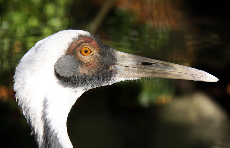 White-naped Crane close up royalty free stock photography