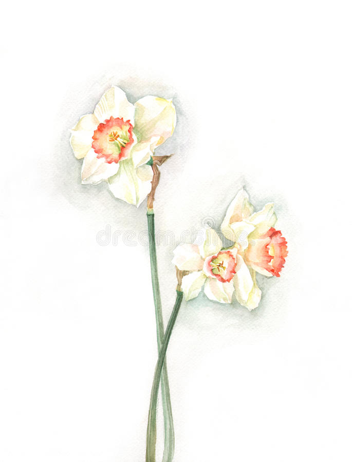 Free White Narcissi Watercolor Painting Royalty Free Stock Photography - 18966517