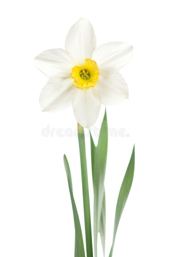 White narcissus. Isolated on white stock images