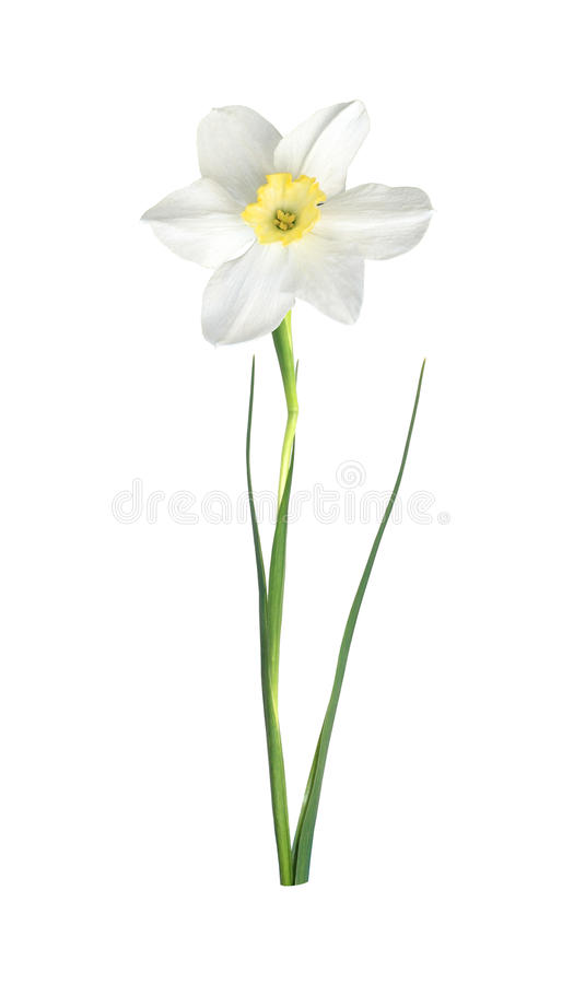 White narcissus royalty free illustration