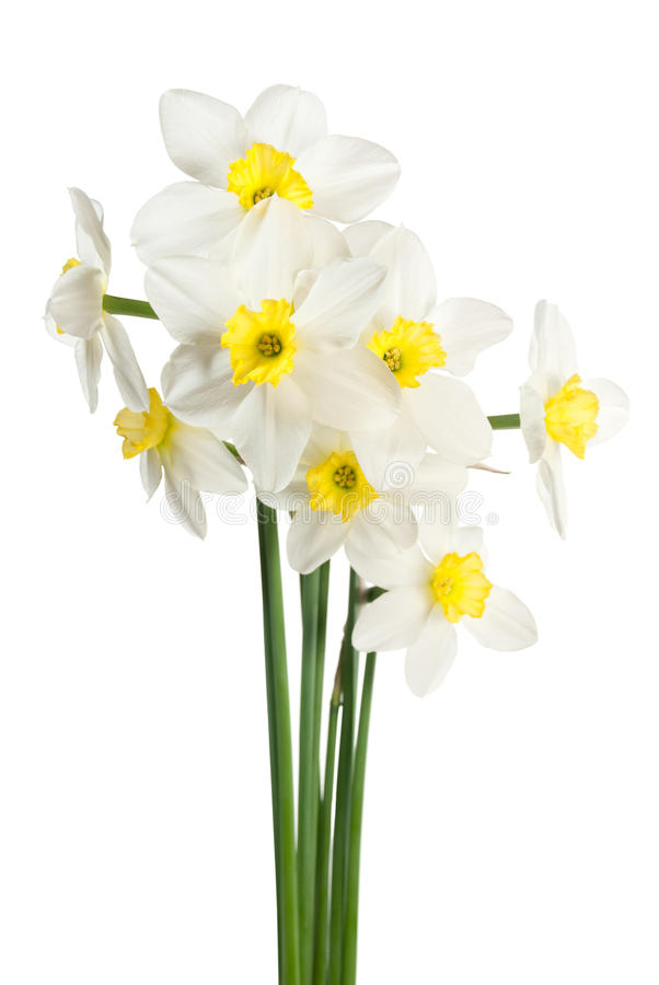 White narcissus bouquet. Isolated on white royalty free stock images