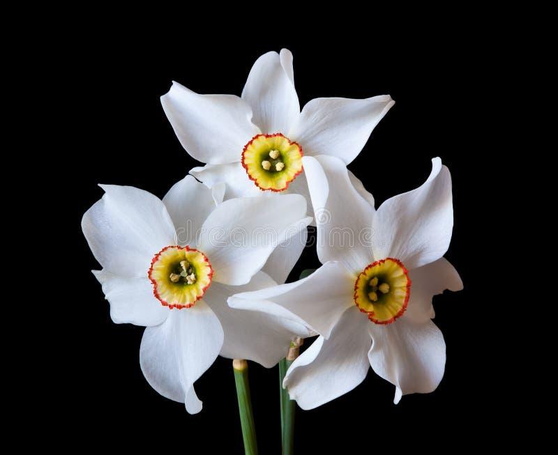 White Narcissus flowers. Three white Narcissus flowers on dark background royalty free stock photo