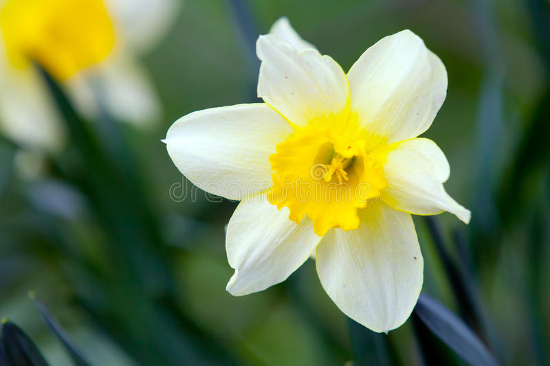 White Narcissus On Grass Royalty Free Stock Images