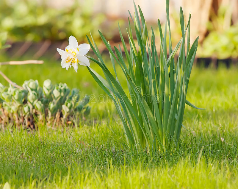 Download White narcissus stock image. Image of home, green, garden - 31409005