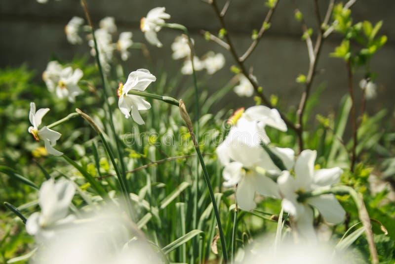 Narcisus royalty free stock photo