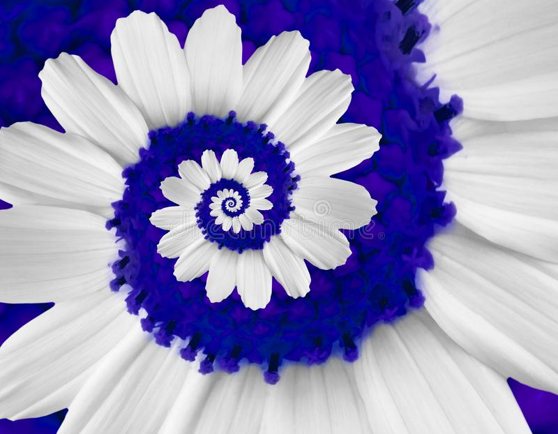 White navy camomile daisy cosmos kosmeya flower spiral abstract fractal effect pattern background White flower spiral abstract. White navy blue camomile daisy stock photography