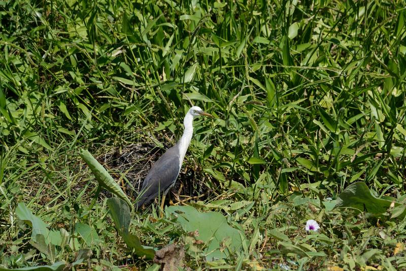 White-Necked Heron Hiding royalty free stock image