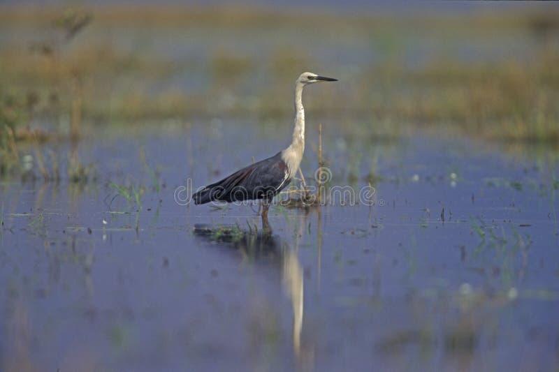 White-necked heron, Ardea pacifica stock photos