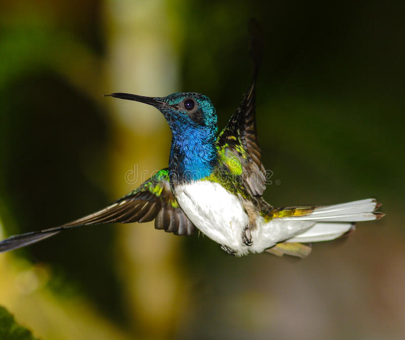 Download White-necked Jacobin stock image. Image of rainforest - 60086049