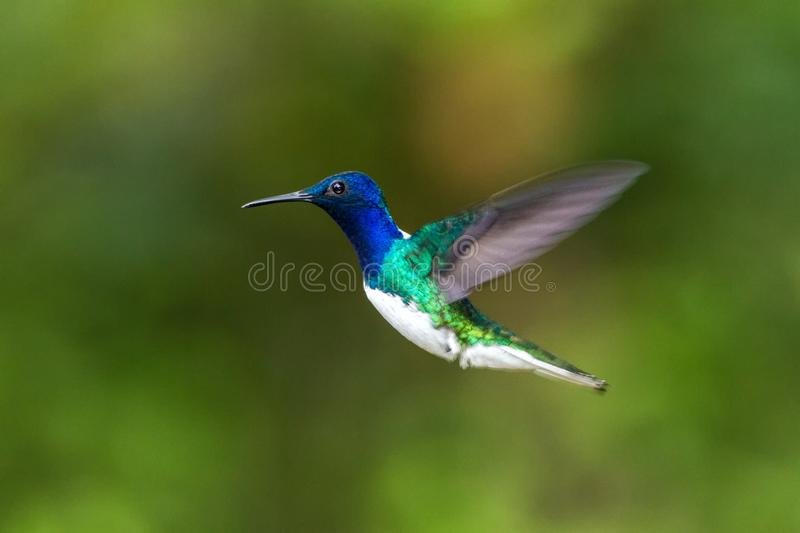 White-necked Jacobin, Florisuga mellivora, hovering in the air, garden, mountain tropical forest. Waterfall Gardens La Paz, Costa Rica, bird on green royalty free stock image