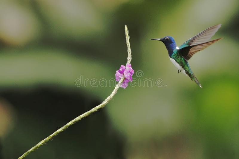 White-necked Jacobin, Florisuga mellivora hovering next to violet flower in garden, bird from mountain tropical forest, Costa Rica. Natural habitat, beautiful royalty free stock image