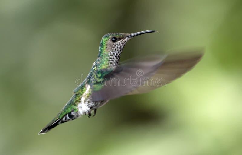 White-necked Jacobin hummingbird in flight,Ecuador royalty free stock photography