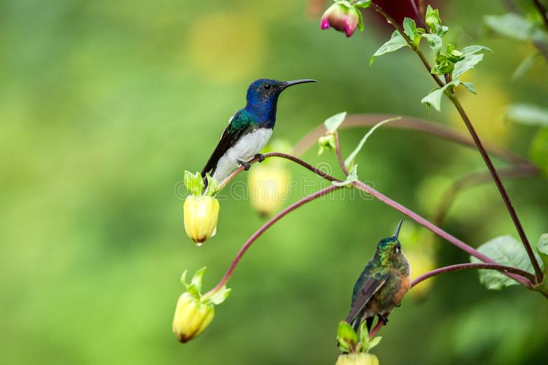 White-necked jacobin sitting on branch, hummingbird from tropical forest,Ecuador,bird perching,tiny beautiful bird resting on flow stock photo