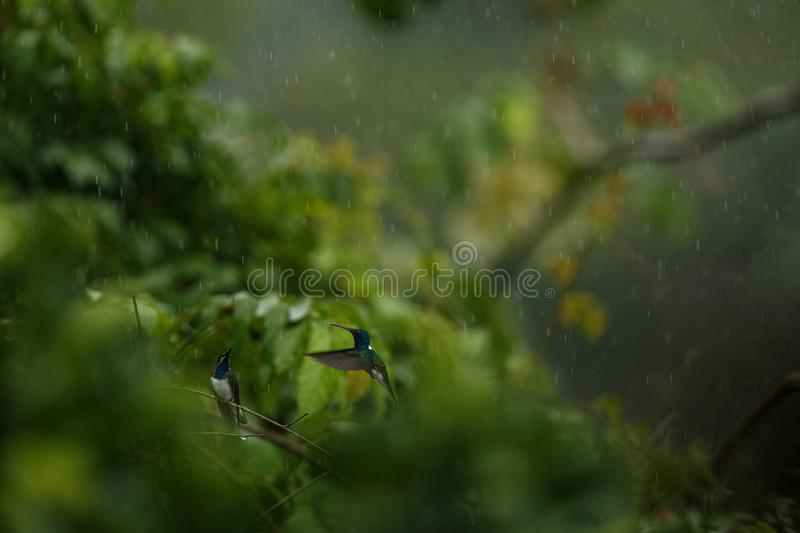 White-necked jacobin sitting on branch in rain, hummingbird from tropical rain forest,Colombia,bird perching,tiny beautiful bird r stock photo