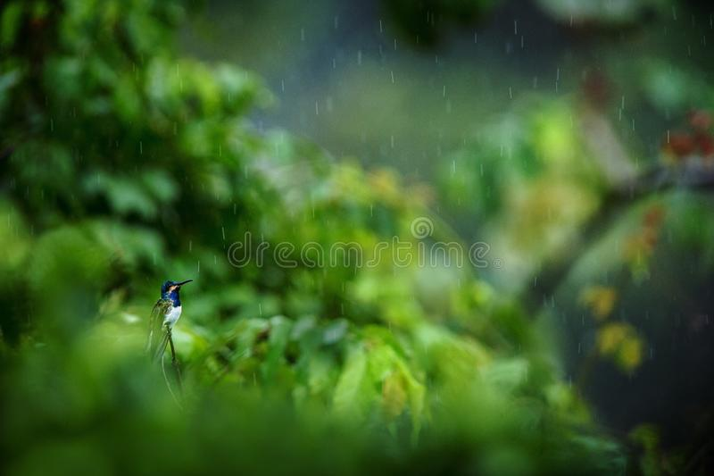 White-necked jacobin sitting on branch in rain, hummingbird from tropical rain forest,Colombia,bird perching,tiny beautiful bird r royalty free stock photos