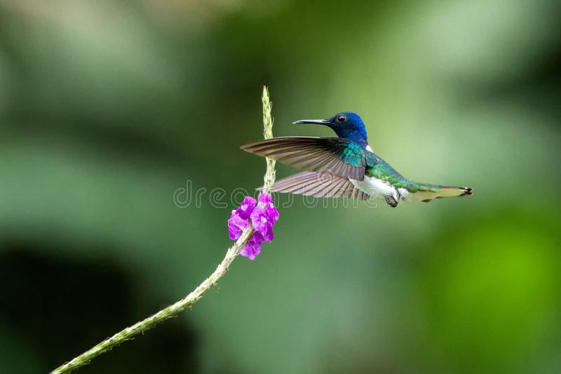 White-necked jocobin hovering next to violet flower, bird in flight, tropical forest, Brazil, natural habitat. Beautiful hummingbird sucking nectar, colorful royalty free stock image