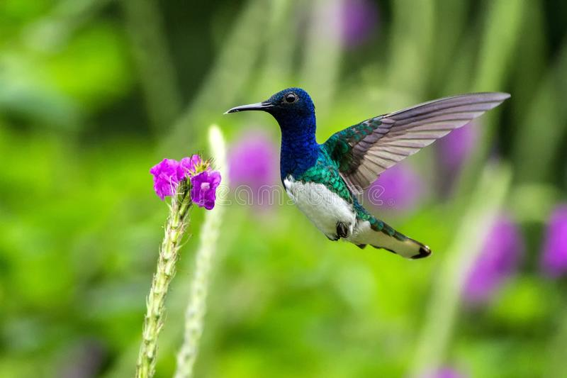 White-necked jocobin hovering next to violet flower, bird in flight, tropical forest, Brazil, natural habitat. Beautiful hummingbird sucking nectar, colorful stock photo