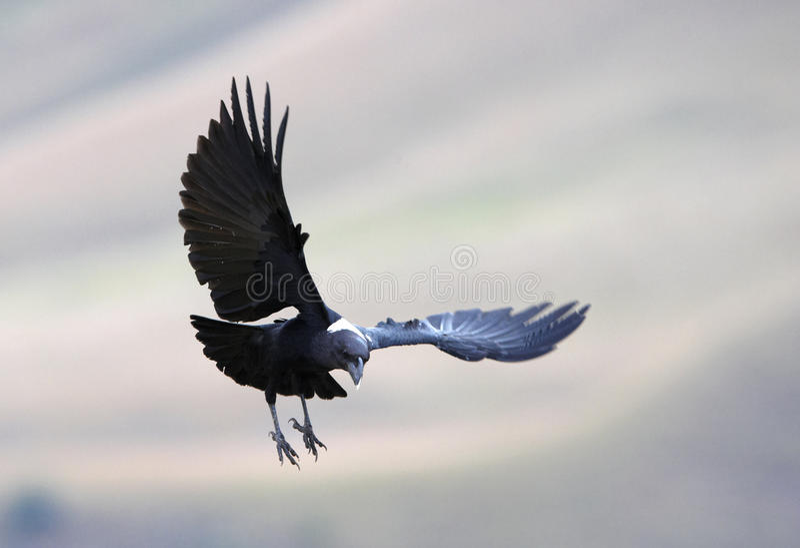 White-necked Raven stock photography