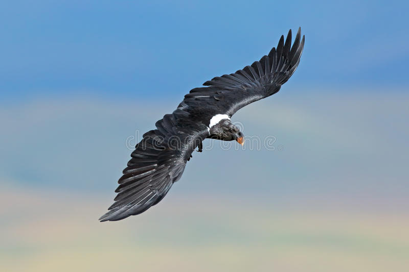 White-necked raven in flight royalty free stock photography