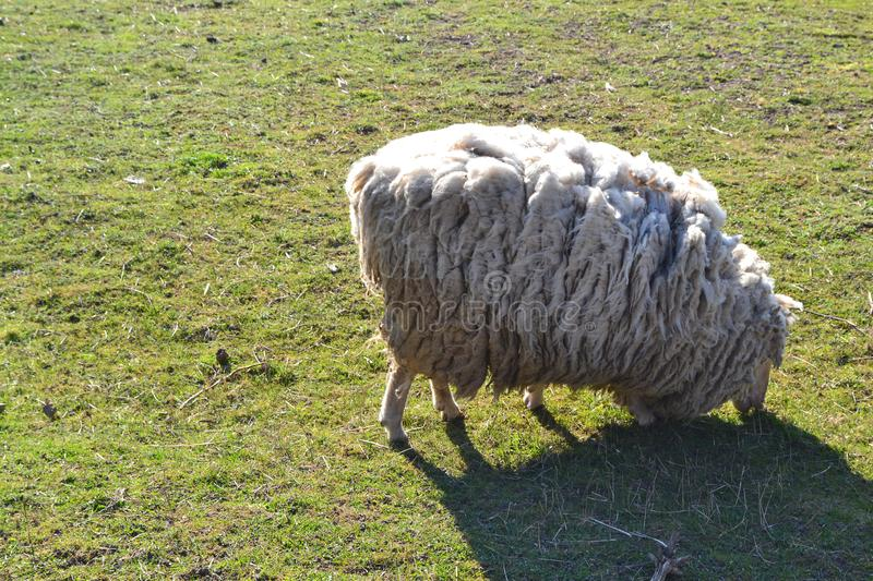 White neglected sheep on spring grass for concept of environment. Rural scenery stock image