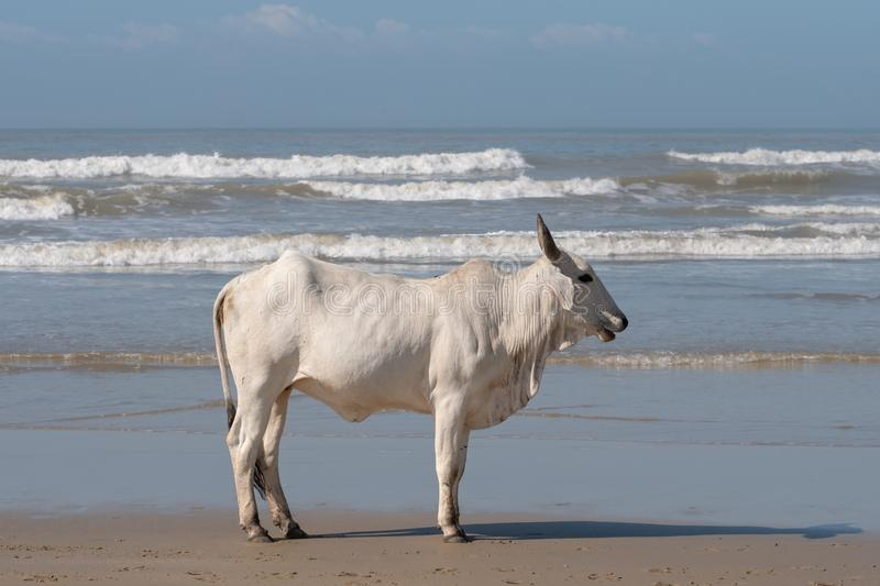 White Nguni cow on the sand at Second Beach, Port St Johns on the wild coast in Transkei, South Africa. Nguni cow on the sand at Second Beach, Port St Johns on stock images