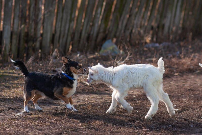 White nice little goatling play black dog royalty free stock image