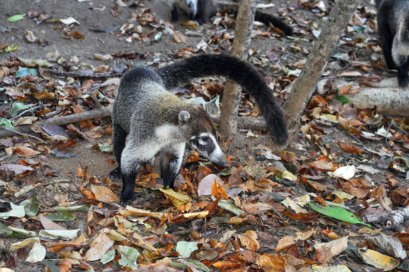 Download White-nosed coati stock image. Image of endemic, foraging - 36757969