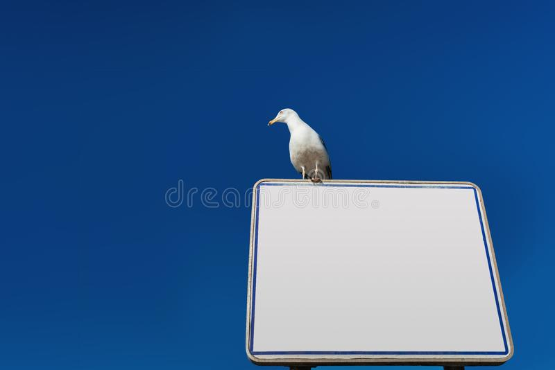 White notice board with European Herring Gull stock photos