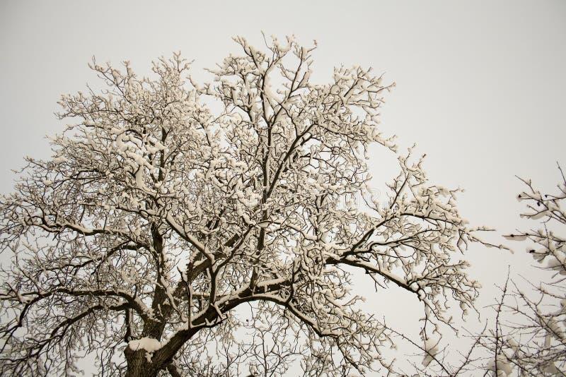 White nut tree royalty free stock photography