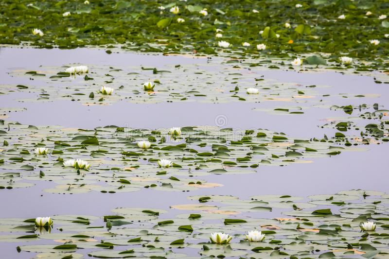 White Water Lily Patches in Shiretoko, Japan. White Nymphaea water lilies at Five Lakes, Shiretoko National Park, Japan, a World Heritage Site; August blooms stock photo