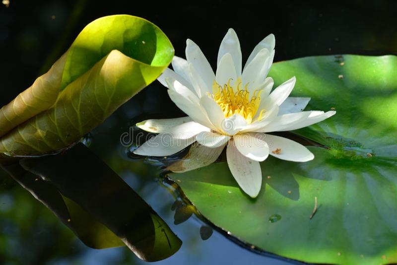 White Nymphaea , water lilies. White Nymphaea known commonly as water lilies in a pond stock photo