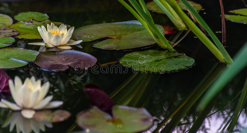 White nymphaea or water lily with yellow heart flowers and green leafs in water with tranquil reflection in garden pond, close-up. White nymphaea or water lily stock image