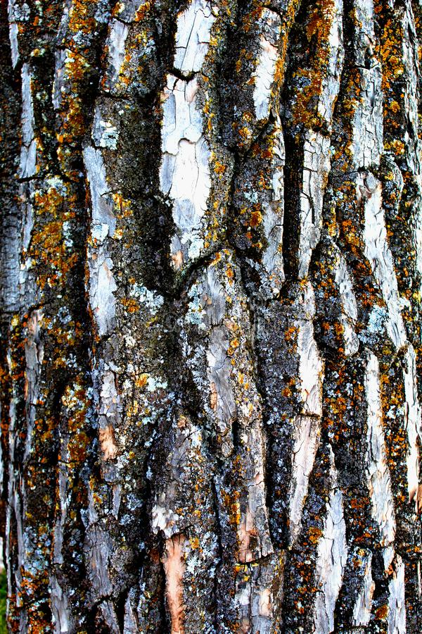 White oak tree texture royalty free stock photo