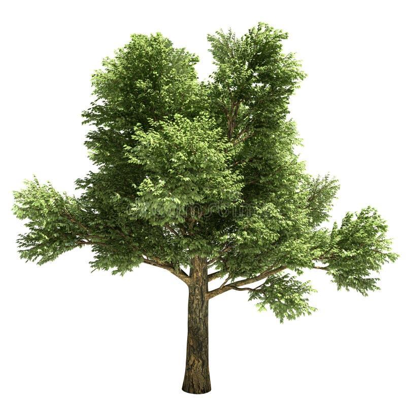 White Oak Tree Isolated royalty free illustration