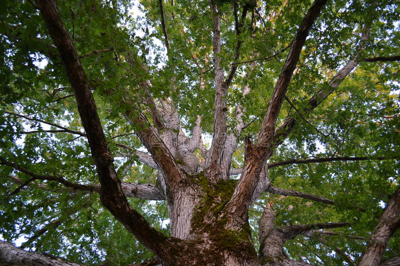 White oak tree stock image
